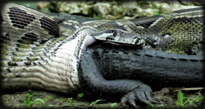 Burmese python eating alligator